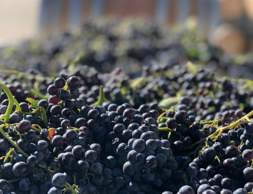 Barossa 2019 vintage update – high quality, limited supply