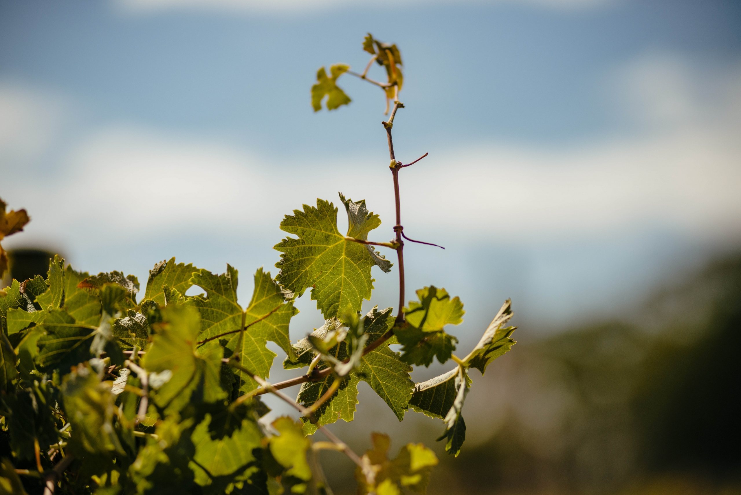 an image of grape vines and blue sky
