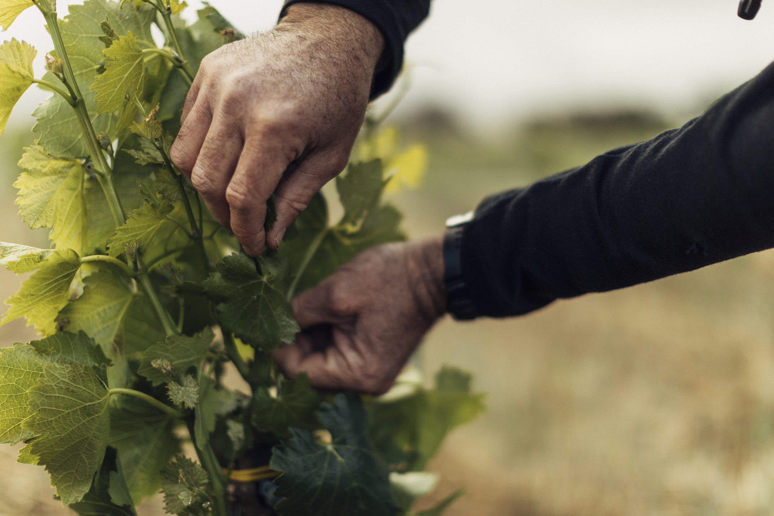 A close-up of a vineyard worker's hands working on a grape vine