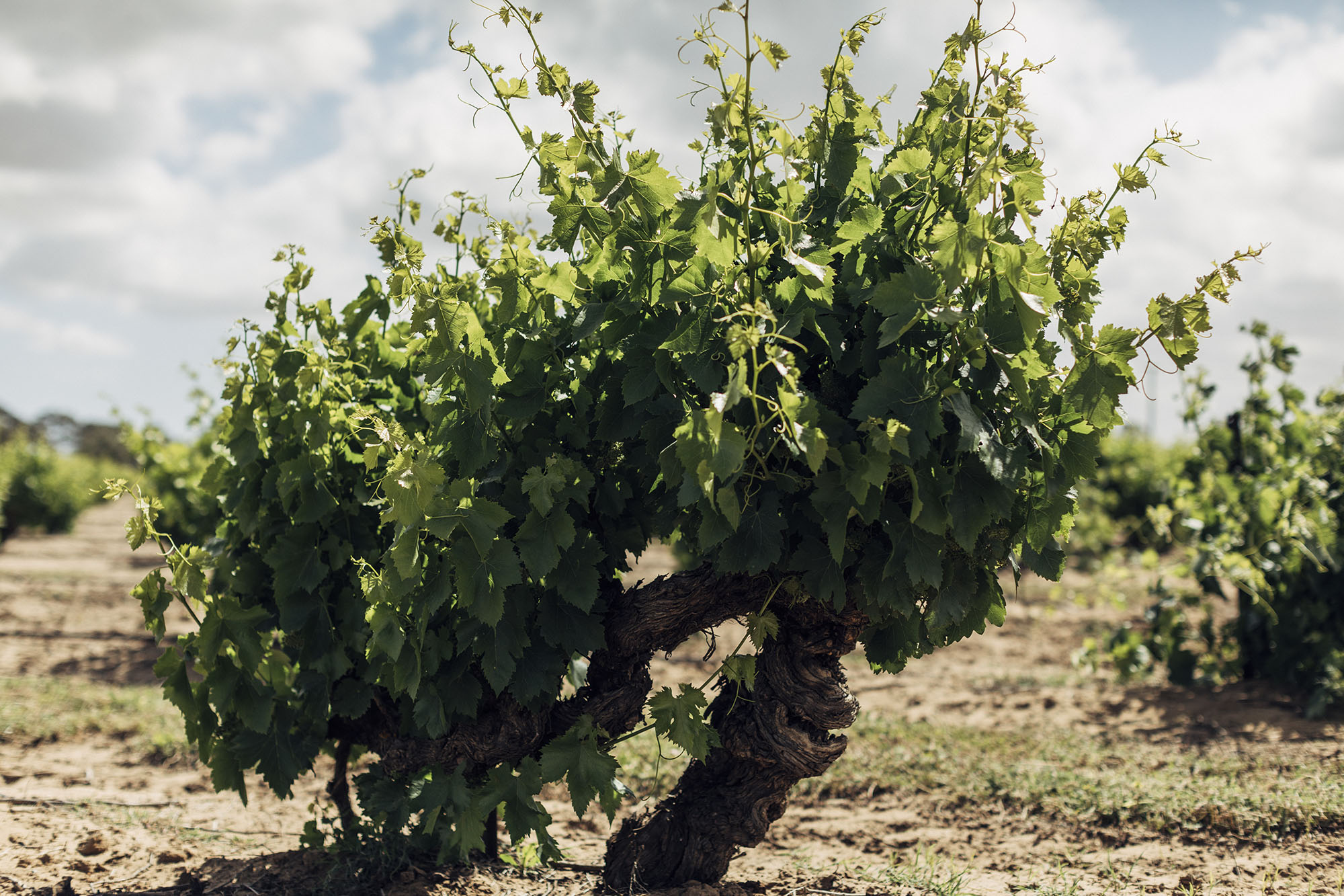 Cirillo Estates Wine Bush vine Grenache - planted in 1848 - the oldest, continuously producing Grenache vines in the world