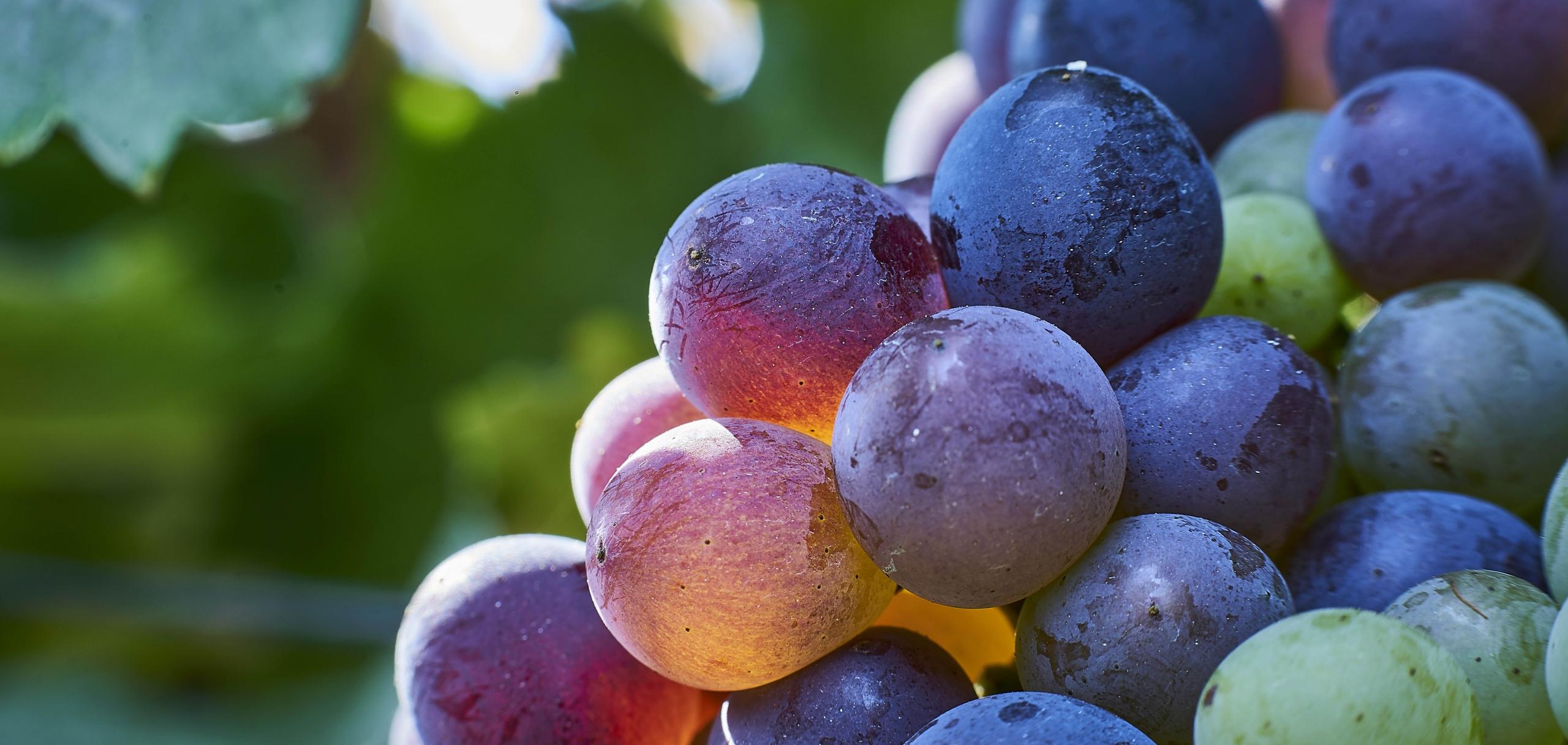 Grapes in veraison Barossa, South Australia